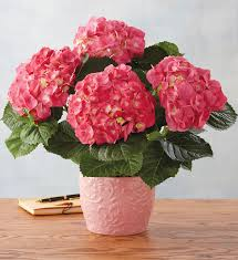 pink hydrangea pink hydrangea harry david
