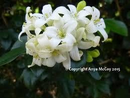 Jasmine Flowers Perfume Tincture Of Orange Jasmine Flowers Anya U0027s Garden Natural