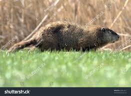 side profile woodchuck groundhog stock photo 29311417 shutterstock