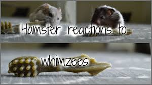 hamster reaction to whimzees youtube
