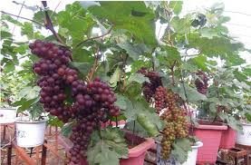 350pc seasonal fruit seeds four different potted fruit tree