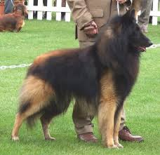belgian sheepdog brown 36 best that u0027s my dawg images on pinterest
