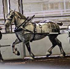 How To Tell If A Horse Is Blind Percheron Wikipedia