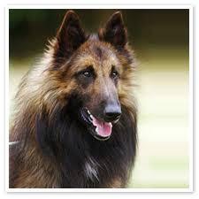 belgian sheepdog gif belgian tervuren dog breed remarkable dogs