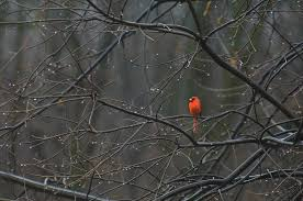 cardinal in end of winter photograph by oppenheim