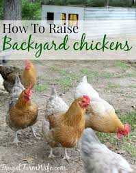 Chicken In Backyard How To Raise Chickens In Your Backyard The Frugal Farm Wife
