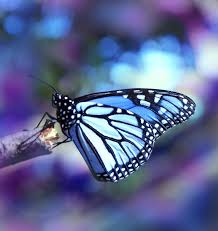 blue butterfly the beauty of nature pinterest blue butterfly