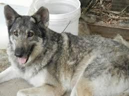 belgian sheepdog wolf mix non wolfdogs mistaken identity