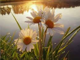 Daisy The Flower - 131 best daisies are the friendliest flower images on pinterest