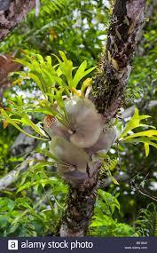 epiphytic ferns in the daintree rainforest queensland australia
