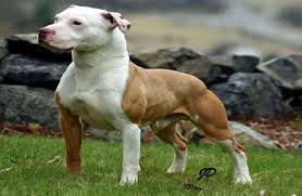 american pitbull terrier 5 months old 5 reasons to buy your american pit bull terrier from a registered