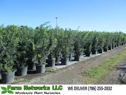 hedging plants budget wholesale nursery podocarpus maki macrophyllus podocarpus maki podocarpus