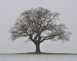 melbourne oak tree in winter a photo on flickriver