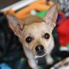 boxer dog adoption los angeles adopt a dog best friends animal society