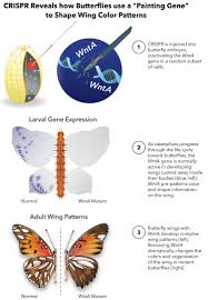 biologists find genetic master switch for the butterfly s wing color