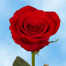 valentines day roses s day roses global