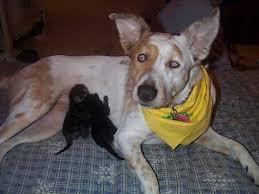 6 week pregnant boxer dog breeding u0026 care of your pregnant dog