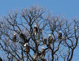 Enf bald eagle bus tours for 2018