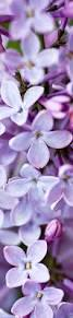 Lilca by Best 20 Lilac Flowers Ideas On Pinterest Lilacs Purple Lilac