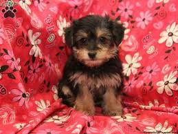hair accessories for yorkie poos 17 best yorkie poo puppies images on pinterest simple thoughts