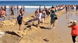 video great white shark rescue cape cod
