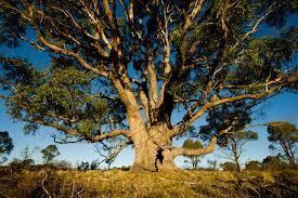 gold grows on eucalyptus trees