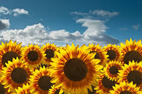 sunflower wallpapers photography wallpaper sunflower u2013 best wallpaper download