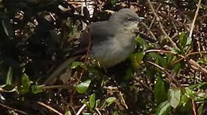 mockingbird singing in nc backyard pt 1 youtube