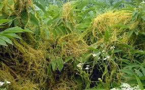 images of plants cuscuta wikipedia