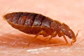 Can Bed Bugs Kill You I Spent Months Battling Bedbugs And Years Trying To Get Them Out