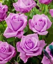 love purple floral pinterest purple flowers and roses