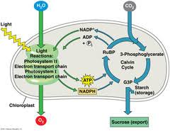 Where Do The Light Independent Reactions Occur Campbell Biology Ninth Edition Chapter 10 Photosynthesis