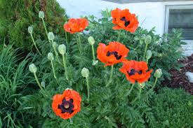 tips on how to grow poppy bomets