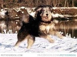 Canine Creature Comforts Tibetan Kyi Apso Dog Breeds A Z Pinterest Tibetan Dog Dog