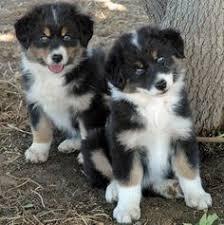 double j australian shepherds aussie puppies australian shepherds double j pinterest