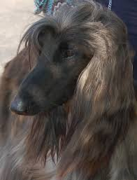 afghan hound sale home