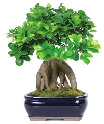 ginseng grafted ficus bonsai tree asian plants by brussel s