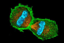 mitosis and cell division quiz