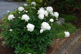 Very Fragrant Plants - peony white landscaping ideas pinterest peony peony bush