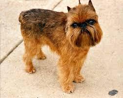 belgian shepherd hypoallergenic dog breeds a z the complete guide