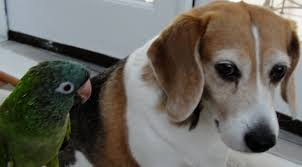 Black And Tan Beagles Dear Betsy Beagle A Letter To My Dog