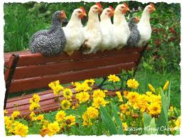caring for chickens in the spring
