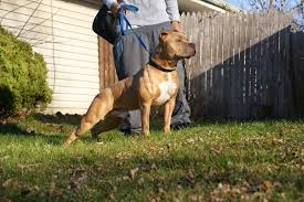 american pitbull terrier gator the real apbt what u0027s a pit bull