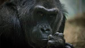 Columbus Zoo Lights by Columbus Zoo Gorilla Colo Back On View After Medical Procedure