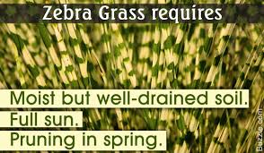how to plant and care for the graceful and impressive zebra grass