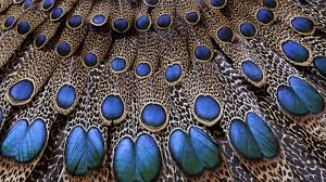 Wallpaper For Home by Desktop Hd Peacock Wall Pictures
