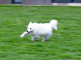 american eskimo dog food shiba inu american eskimo dog mix u2013 information and facts my