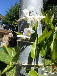bougainvillea tickey solanum jasminoides u0026 black eyed susan