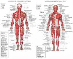 External Female Anatomy Diagram Anatomy Body System Human Female Anatomy With Major Organs And