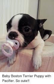 Boston Terrier Meme - baby boston terrier puppy with pacifier so cute meme on me me